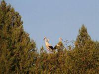 Leylekler Büyük Göç İçin Yuvalarından Uçacaklar