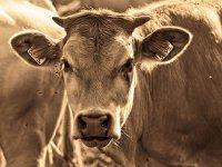 Çiğ süt prim destekleri düşürüldü