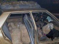 Çaldığı 7 koyunla otomobille giderken jandarmaya yakalandı