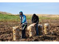 Aksaray patates ekimi yasaklanmadı