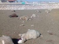 Altınekin'de kurt 19 koyunu telef etti