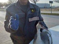 Konya'da yaralı bulunan tarakdiş kuşu koruma altına alındı