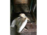 Yaralı pelikan koruma altına alındı