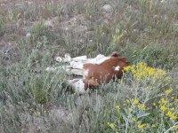 Eskil'de açık alana atılan hayvan leşleri tehlike saçıyor
