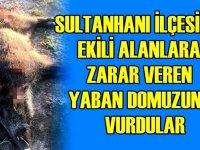Sultanhanı'nda ekili alanlara zarar veren yaban domuzu öldürüldü