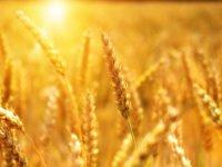 Buğday ürünü ihracatından 4 ayda 300 milyon dolara yakın kazanç sağlandı