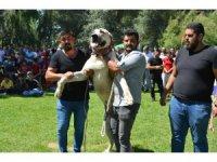 Ereğli'de Türk çoban, av ve bekçi köpekleri yarıştı