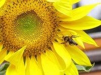 Yılın ilk yağlık ayçiçeği 3,02 TL'den satıldı