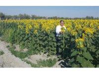 Konya Şeker ayçiçeği alım fiyatlarını açıkladı
