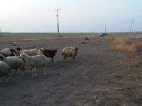 Aman dikkat! Eskil'de 16 koyun yonca zehirlenmesinden telef oldu