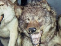 Kıraç Bölgesinde Sürü Sahipleri Dikkat! Eskil'de Koyun Sürüsüne Kurt Saldırısı