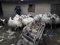 Çaldıkları koyunlarla yakalanan şüpheliler tutuklandı