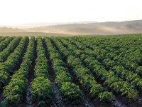 Su kaynakları kururken Aksaray'da desteklenen ürünün adı: Patates