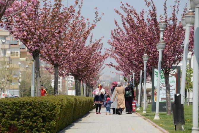 Konya'da sakuralar şehre renk katıyor