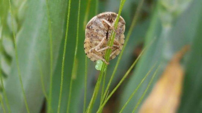 Ereğli'de daha iyi ürün için yararlı böcekler tarlalara salınıyor