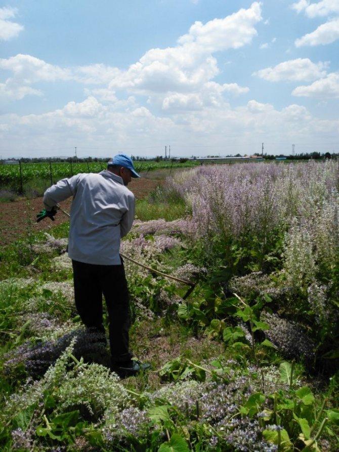 Çumra MYO'da 'misk adaçayı' hasadı