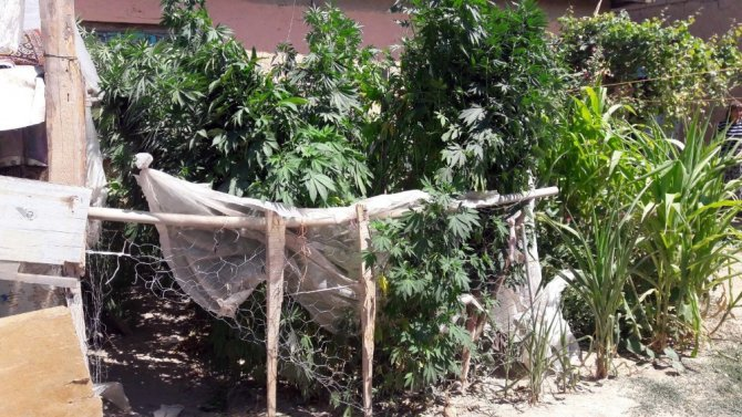 Bahçesinde 300 kök Hint keneviri bulunan kadın: