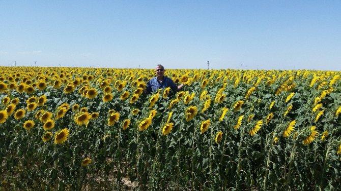 Aksaray'da ayçiçeğinin ilk hasadı borsaya geldi