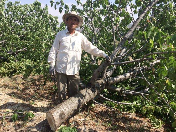 Para etmeyen beyaz kiraz ağaçlarını kesip odun yaptı