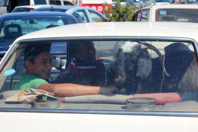Kurbanlıkların otomobil yolculuğu