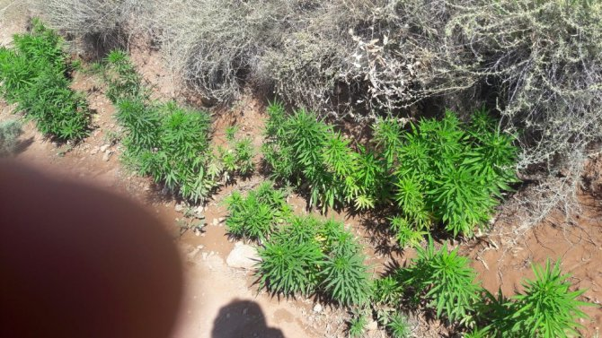 Müstakil evin bahçesinde ekili Hint keneviri ele geçirildi