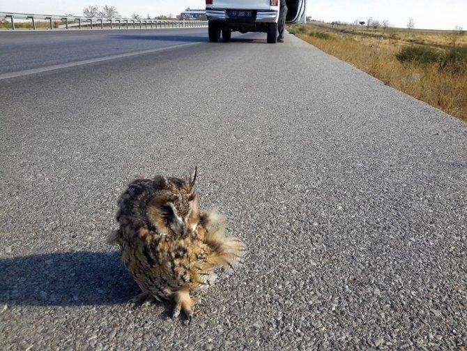 Yola çıkan uçamayan puhu kuşunu ezilmekten kurtardılar