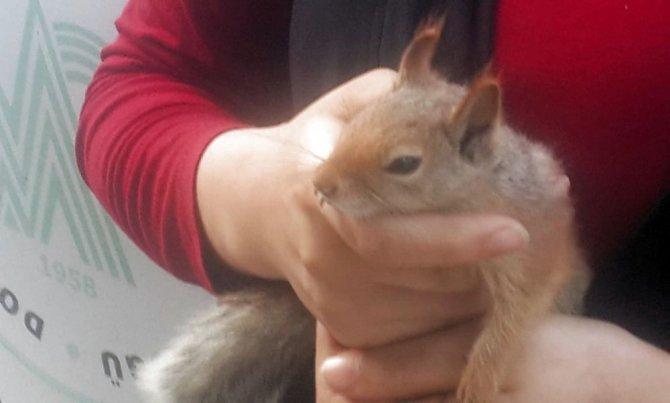 Yaralı bulunan sincap tedavi altına alındı