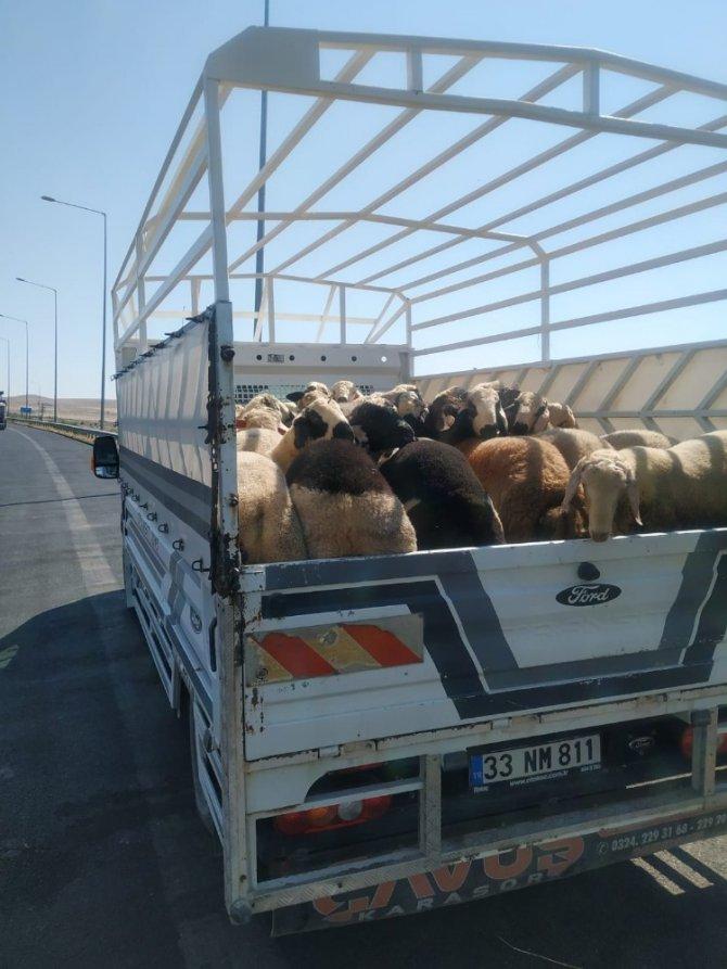 Konya'da jandarmanın denetiminde küpesiz koyun ele geçirildi