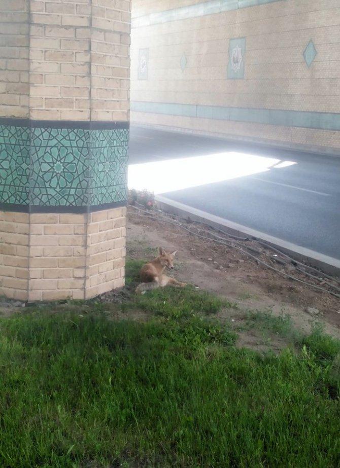 Konya'da kent merkezine inen yaralı tilki tedavi altına alındı