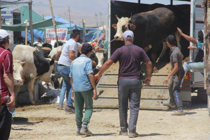 Konya'da kurban pazarının en büyüğü 2 tonluk siyah inci