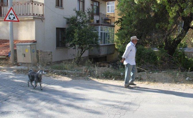 Besleyip büyüttüğü oğlak yaşlı adamın peşinden ayrılmıyor