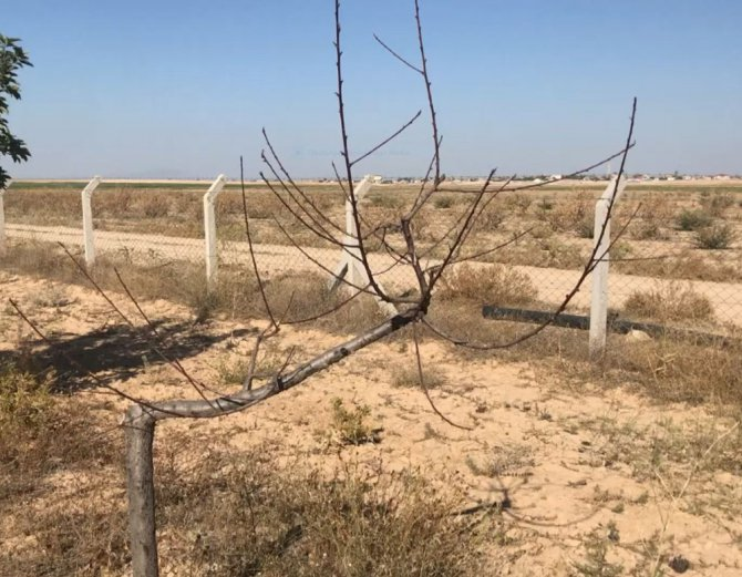 Aksaray'da yeraltı su kaynaklarının çekilmesi ağaçların kurumasını neden oluyor