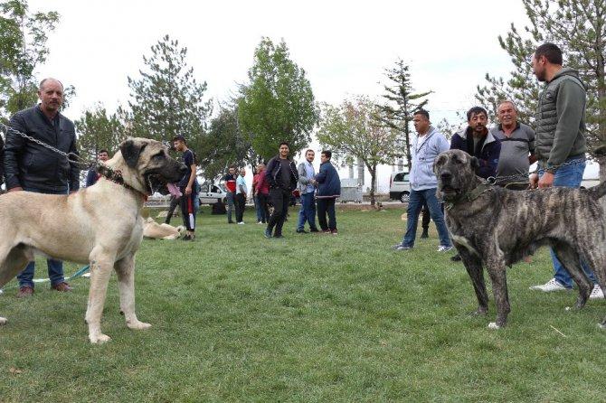Konya'da çoban köpekleri yarıştı