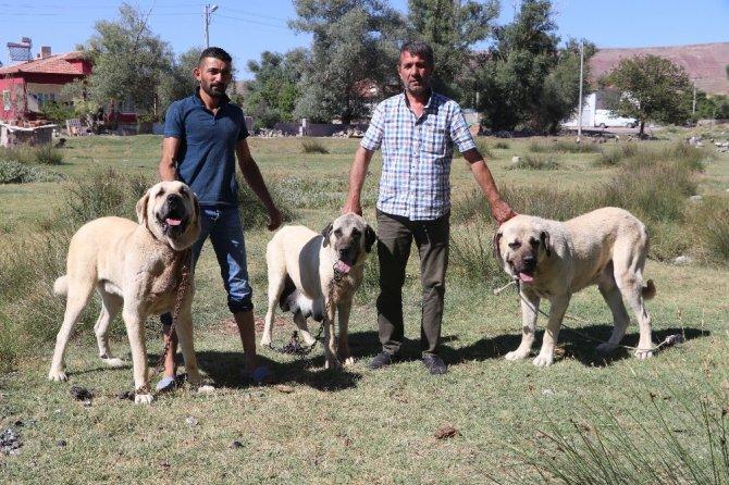 Anadolu aslanı Malaklı köpekleri sürüden çıkıp ticarete girdi