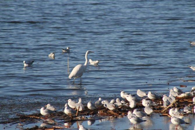 Beyşehir Gölü'nde su kuşlarının zorlu yaşamı