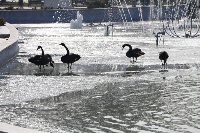 Buz tutan havuzda kuğuların yürüme mücadelesi renkli görüntüler oluşturdu