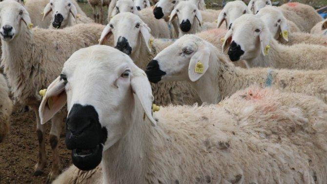 """Damızlık Koyun Keçi Yetiştiricileri Birliği Başkanı Aktürk: """"Ata sporumuz güreş, ata mesleğimiz koyunculuk"""""""