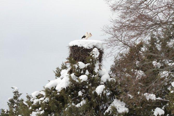Leylekler yuvalarında kar altında kaldı