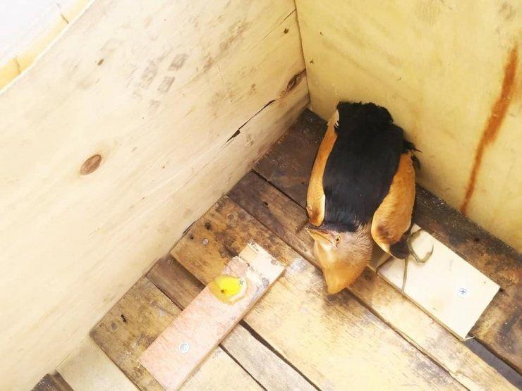 Arazide bulunan yaralı balaban kuşu tedavi altına alındı