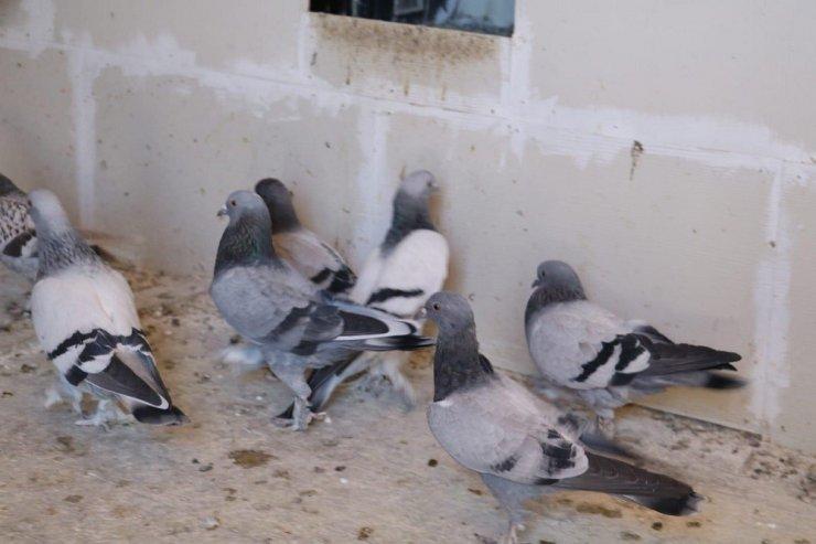 Sivas güvercinini kaptırmamaya niyetli