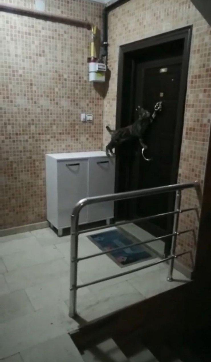 Kapının tokmağını çalan kedi gülümsetiyor