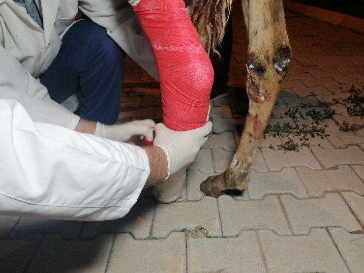 Çiftçinin tarlasında bulduğu yaralı tay tedavi altına alındı
