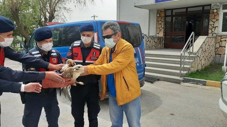 Jandarmanın bulduğu yaralı kızıl şahin tedavi altına alındı