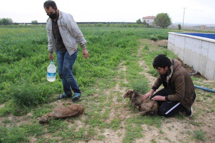 Alevlerden çıkarılan kaz yavruları ve oğlakları yıkayarak kurtarmaya çalıştılar