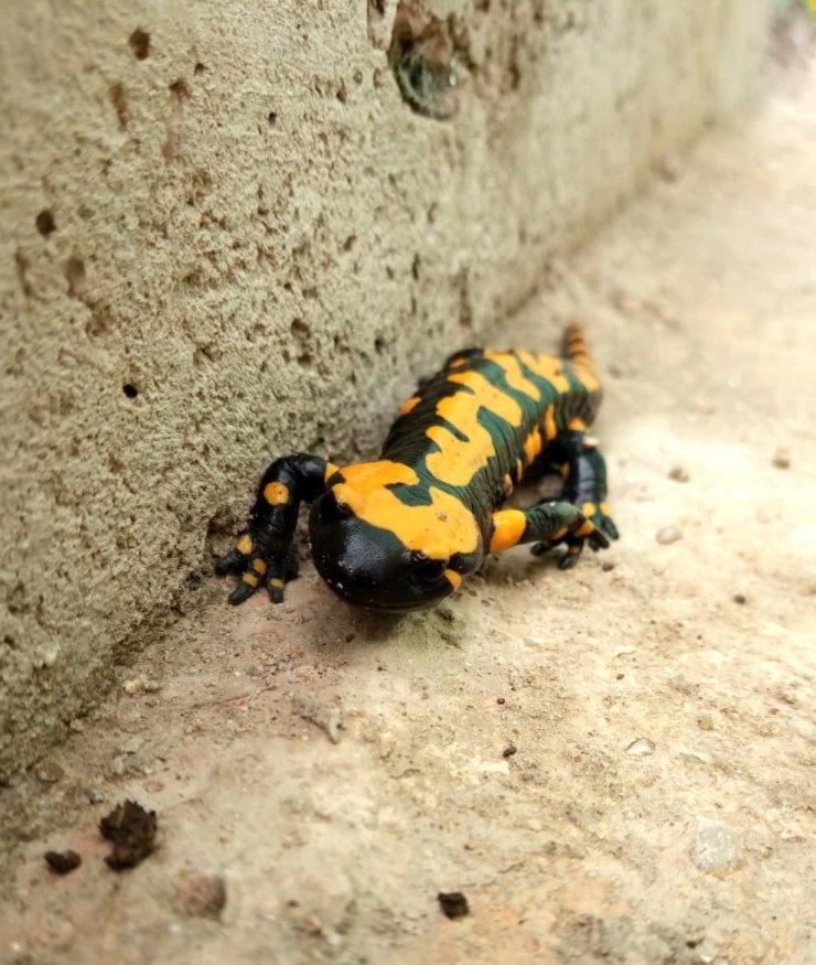 Konya'da sarı benekli semender görüntülendi