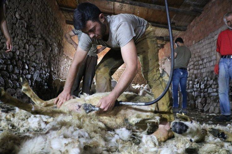 Sivas'ta koyunları kırkım işlemi başladı