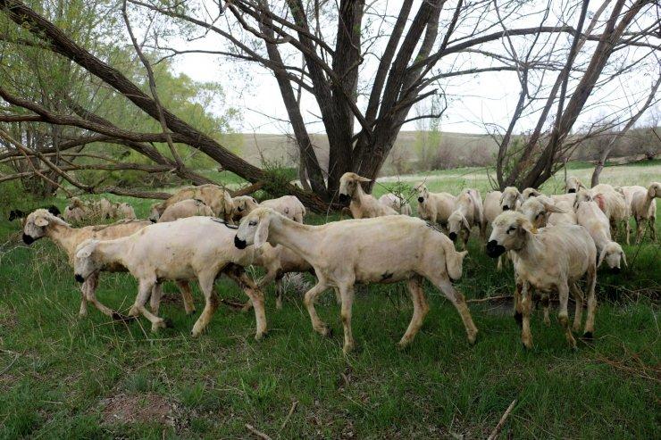 Sivas'ta ilkbaharın gelmesiyle yeşile bürünen meralar koyunlarla buluştu