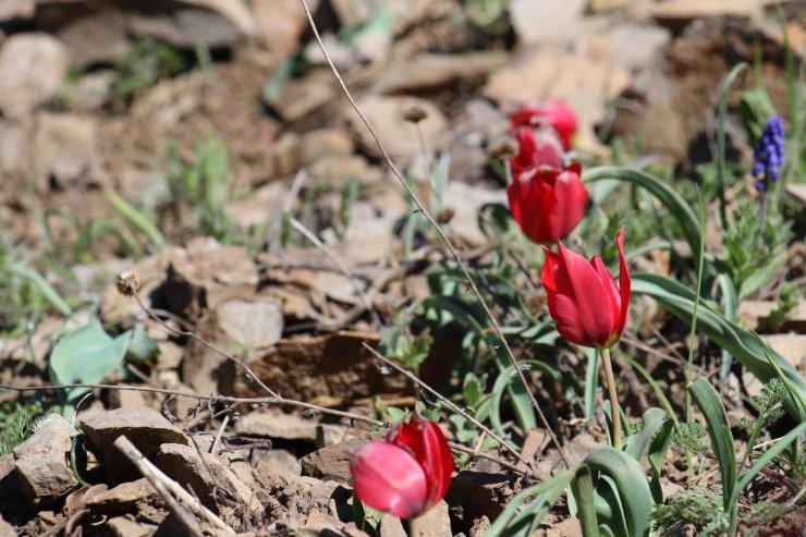 Yılda sadece 15 gün görülen endemik dağ lalesi hayran bırakıyor
