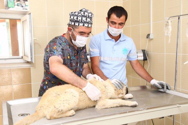 Sahipsiz köpeklere Aksaray Belediyesi sahip çıktı