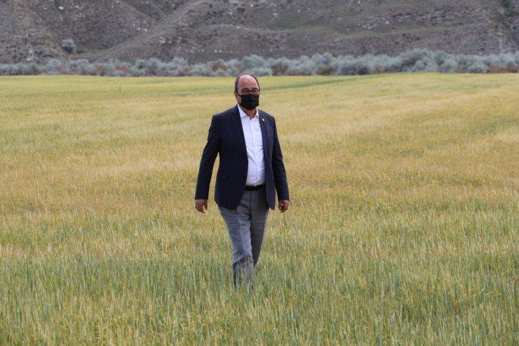 Çankırı'da tarlalar kuraklık sebebiyle erken hasat edilmeye başlandı